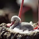 Flamingo Chick in Nest by Kristin Hamm