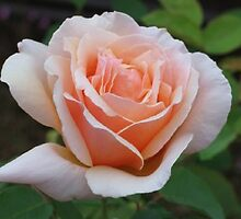 Light Pink Rose Bloom by art2plunder