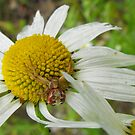 Crab Spider On A Daisy by Tracy Wazny