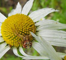 Crab Spider On A Daisy by Tracy Faught