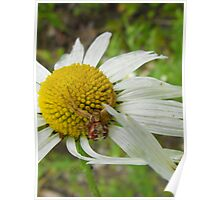 Crab Spider On A Daisy Poster