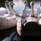 Swans by Diana Forgione