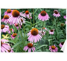 Purple Coneflowers in a Summertime Bloom Poster
