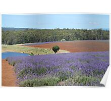 Bridestowe Lavender Farm Poster