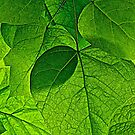 Catalpa Leaves by John Butler