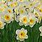 Dydd Gŵyl Dewi Sant - **Daffodils Only**