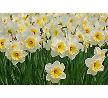 Daffodils Photographic Print