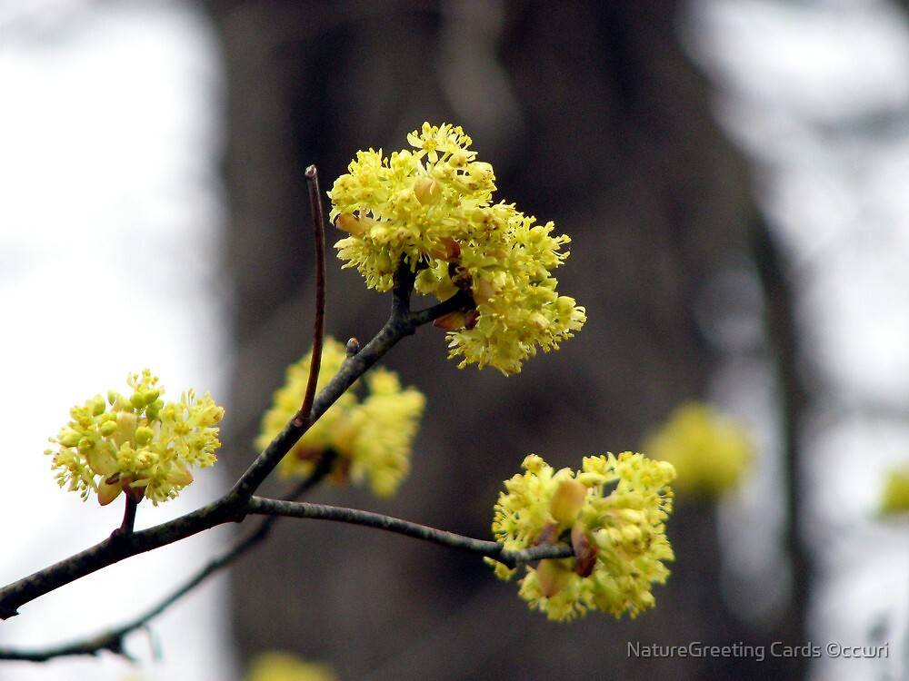 Closer Up  Sassafras Blossoms by NatureGreeting Cards ©ccwri