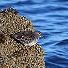 Purple Sandpiper: On the Edge by lloydsjourney