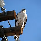 Ferruginous Hawk by Sherry Pundt