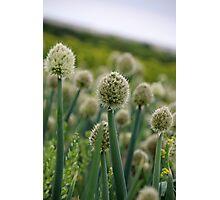 Onion Seed Photographic Print