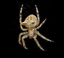 Garden Spider by Jeffrey  Sinnock