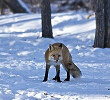 Well, That's Embarrassing - Red Fox by Jonathan Bartlett