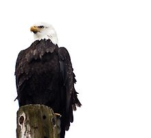 Eagle by Appel