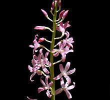 Hyacinth orchid by LeeoPhotography