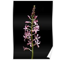 Hyacinth orchid Poster