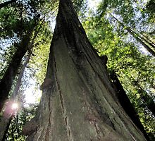 A Giant Beauty, Redwoods, California by meredith175