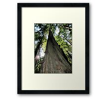 A Giant Beauty, Redwoods, California Framed Print
