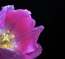 Lovely Tulip. by Vitta