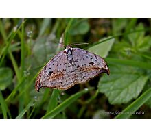 Pebble Hook-tip moth Photographic Print