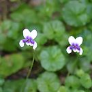 Tiny Native Violet - Yandina Queensland by kaety