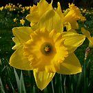 Golden Daffodils. by Finbarr Reilly