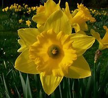 Golden Daffodils. by Finbarr Reilly