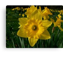 Golden Daffodils. Canvas Print