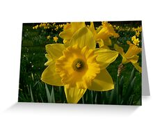 Golden Daffodils. Greeting Card