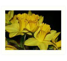 Daffodils Spring Up Art Print