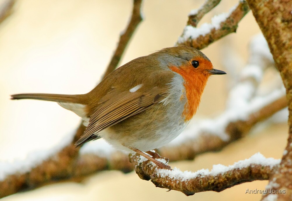 Robin on a frosty morning, County Kilkenny, Ireland by Andrew Jones