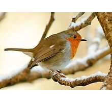 Robin on a frosty morning, County Kilkenny, Ireland Photographic Print