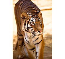 Bengal Tiger Photographic Print