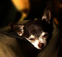 chihuahua by pahit