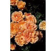 Rose Bundle by snehapdx