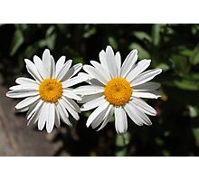two perfect wild white daisy flowers in summer Photographic Print