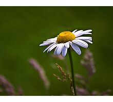 Daisy Days Photographic Print