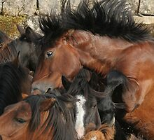 Spaniard Wild Horses 2 by Carlos Casamayor
