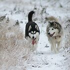Siberian Huskies II by Jan Szymczuk