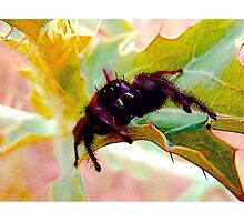 My gimpy jumping spider  Photographic Print
