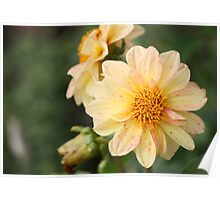 Spotted Dahlia Poster
