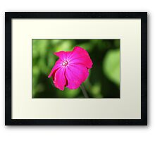 pretty summer hot pink garden flower in green background. Framed Print