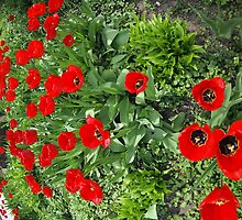 Flowerbed with red tulips by vladromensky