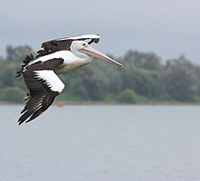 Pelican In Flight by Carol Ritchie