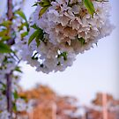 Spring Cherry Blossoms by Michael Little