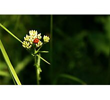 Ladybug in green grass Photographic Print