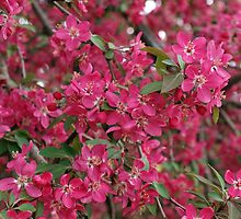 Pink flowers of apple by vladromensky