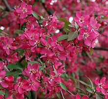 Pink flowers on a tree by vladromensky