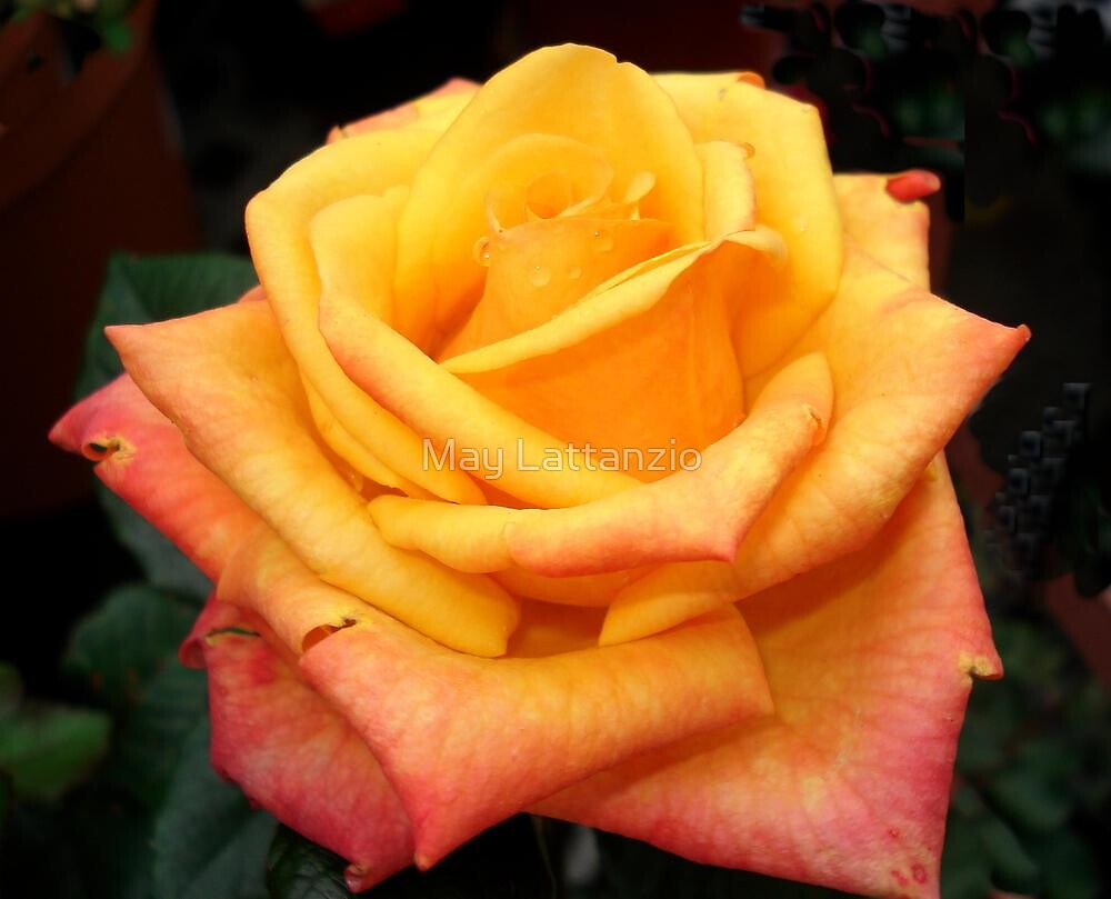 Orange Rose by May Lattanzio