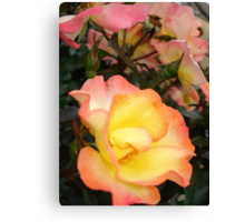 Rose, yellow and pink Canvas Print